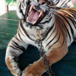 tigre-soins-magnetisme-1